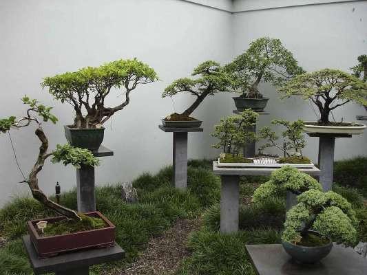 Выращивание бонсай-деревьев